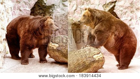 Beautiful large brown bear photographed close up