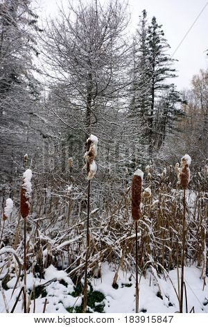 Fresh snow on the heads of common cattails (Typha latifolia, also called bulrushes) and other plants in the Fourth Street Swamp in Harbor Springs, Michigan during November.