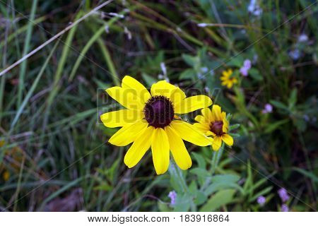 A black-eyed susan flower (Rudbeckia hirta) blooms in Joliet, Illinois during July.