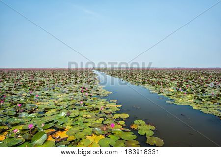 Beautiful Lotus at Sea of pink lotus Udon Thani Thailand (unseen in Thailand)