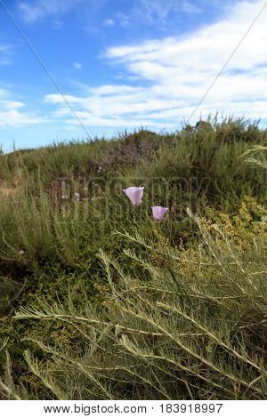 Purple gleam California poppy flower grows in the Aliso Wilderness Park in Laguna Beach California