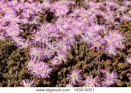 Pink flower on an Ice plant succulent Carpobrotus edulis creeping ground cover textured background