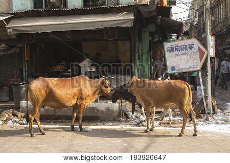 DELHI INDIA - JUN 6 : stray cow in spice market in old delhi of Delhi on june 6 2015 india. spice market is biggest spice wholesale of delhi