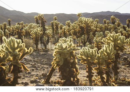 The sun setting on a garden of Cholla cactuses.