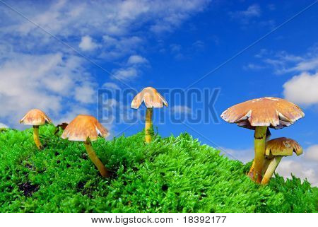 scenic group of magic mushrooms on green moss with blue sky background