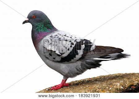 Pigeon (Rock Dove) Isolated on a White Background