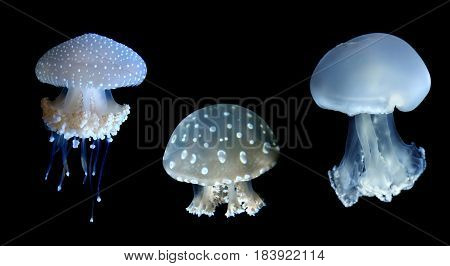 Jellyfish or jellies animals on black background