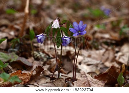 In wood among dry oak leaves have grown and have blossomed hepatica and an anemone.