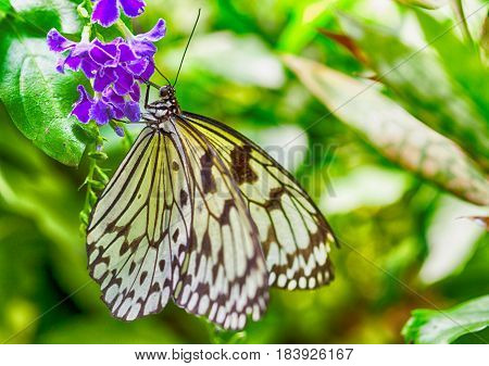 Leuconoe Idea is a Southeast Asian tropical butterfly