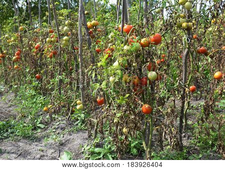 Tomatoes plantation get sick by late blight. Phytophthora infestans is an oomycete that causes the serious tomatoes disease known as late blight or potato blight.