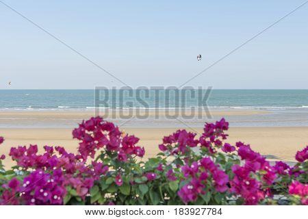 Lesser bougainvillea (Bougainvillea glabra), bougainvillea flowers on beach sea and sky background