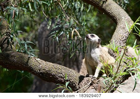 Meerkat or suricate (Suricata suricatta) crouched in a tree looking up to viewers left in search of predators. A small carnivore belonging to the mongoose family