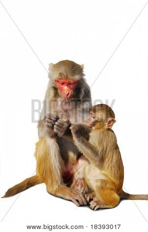 mother and baby monkey in nepal, isolated on white