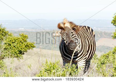 Zebra Twisting To Get To The Branch