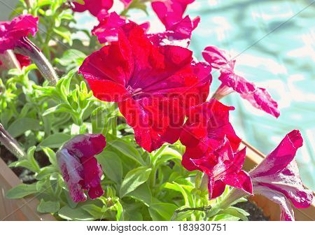 Red Petunia Flowers In A Pot, Green Stems