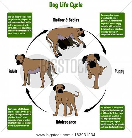 Dog Life Cycle Diagram with all stages including birth mother and babies puppy adolescence adult simple useful chart for biology science education