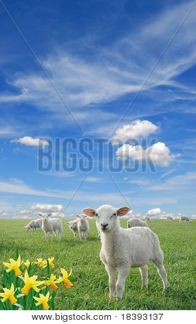 cute little lambs on fresh green meadow with yellow flowers