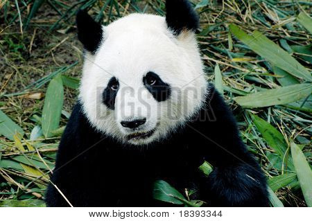 cute giant panda in the zoo of chengdu, china