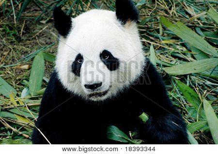 cute giant panda in the zoo of chengdu, china poster