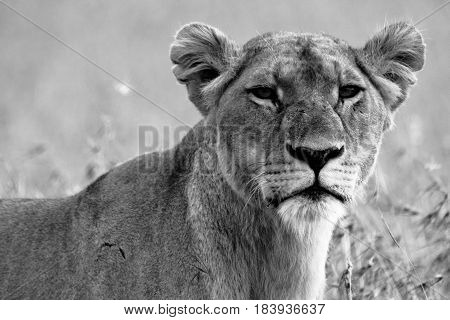 Portrait of a scarred lioness in black and white