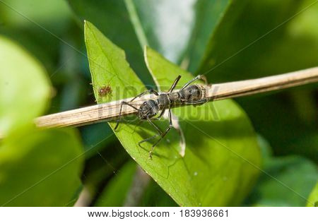 Close up of little black ant on the green leaf