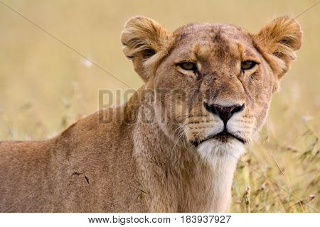 Portrait of a scarred lioness on the African savannah