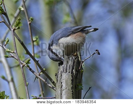Eurasian nuthatch looking for food in its habitat