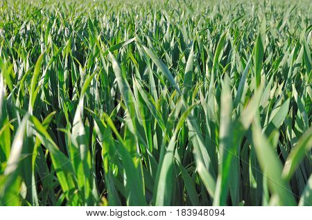 close on green wheatgrass in a field