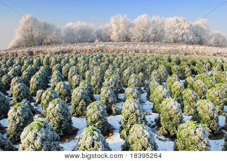 Dutch winter landscape with farmland full of kale a.k.a. 'boerenkool', a typical dutch winter vegetable to eat with mashed potatoes poster