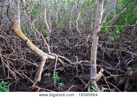 Mangrove roots at low tide on Cayo las brujas, Cuba