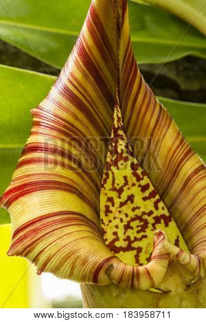 Insect trap of Nepenthes also known as tropical pitcher plant or monkey cups genus of carnivorous plants.