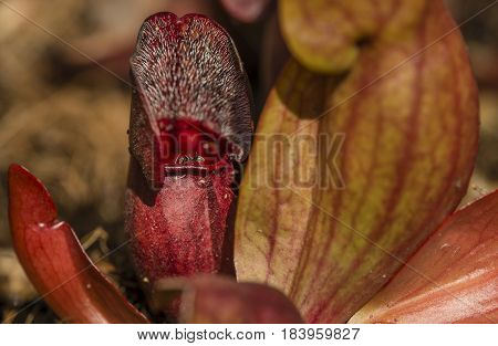 Ant walking on Sarracenia leaf trap trumpet pitcher carnivorous plant.