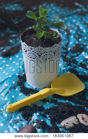 front view of mint plant being planted in a white vase with a yellow spade on a blue plastic sheet natural lighting
