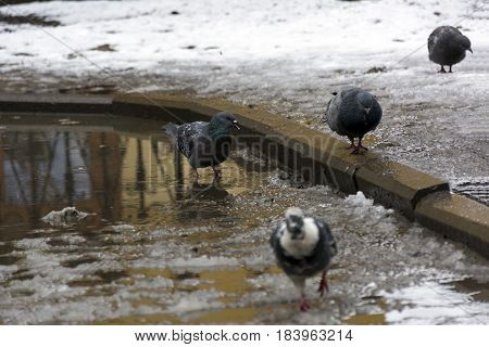 group team of pigeons birds on the melting snow puddles spring