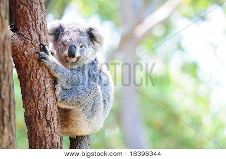 Süße Australian Koala in ihrem natürlichen Lebensraum des gumtrees
