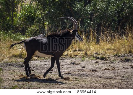 Sable antelope in Kruger national park, South Africa ; Specie Hippotragus niger family of bovidae
