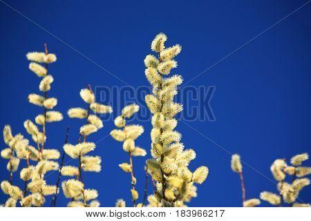 Flowering catkin bush with blue sky polarized