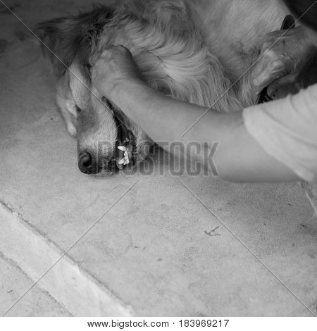 BLACK AND WHITE PHOTO OF HAND COMBING GOLDEN RETRIEVER ON CONCRETE GROUND