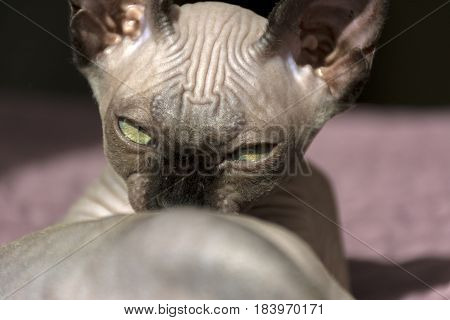 kitten breed Sphynx cat muzzle eyes narrowed