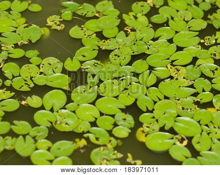 COLOR PHOTO OF LILY PADS IN STILL WATER