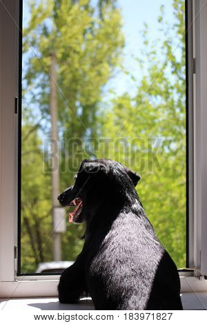 Black dog looking out the window waiting for owner