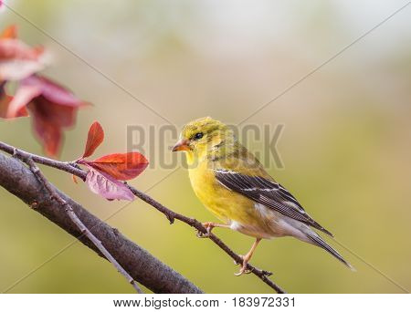 American Goldfinch (Spinus Tristis) female perched on branch
