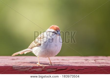 Chipping Sparrow (Spizella Passerina) on weathered red wood in late afternoon