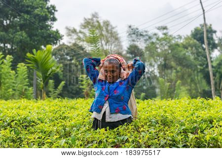 RASSAGALA SRI LANKA - MAR 21: Woman from Sri lanka picking tea leaf on tea plantation on March 19 2016 on a tea plantation at Rassagala Sri Lanka.
