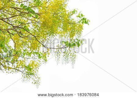Golden shower tree (Cassia fistula) on white background.