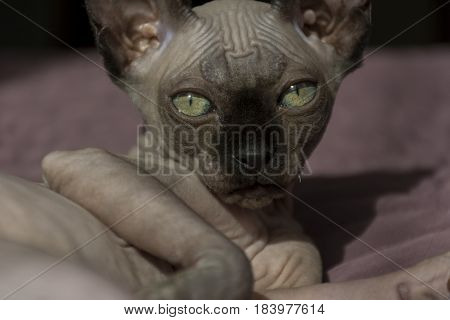 muzzle bald cats canadian Sphynx pet kitten
