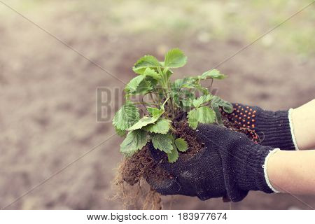 Strawberry bush in the hands that are dressed in protective gloves / gardener planted seedlings spring