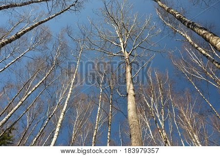 A view from below on birches. Deep blue sky background.