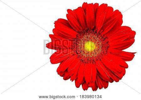 Red gerbera flower with white background detail