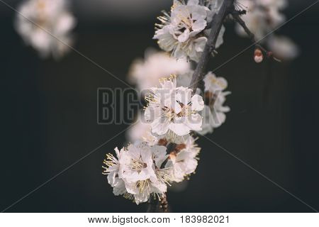 Apricot spring tree flower over dark background, seasonal floral nature concept